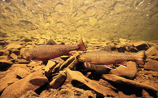 (3) Brook Trout Pair
