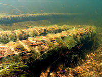 (7) Algae couvered sunken logs