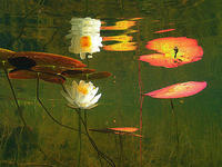 (14) Blooming pond lillies