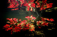 (15) Maple Leaves under water #1