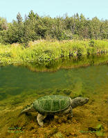 (19) Snapping turtle, a surviving dinosaur