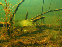 (23) Smallmouth Bass in Habitat #1
