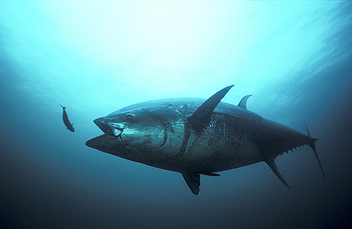 (1) Bluefin Tuna Striking Mackerel