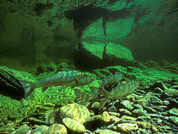 (20) Salmon holding in crystalline pool habitat, Dartmouth River